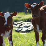 elm-island-farm-cows