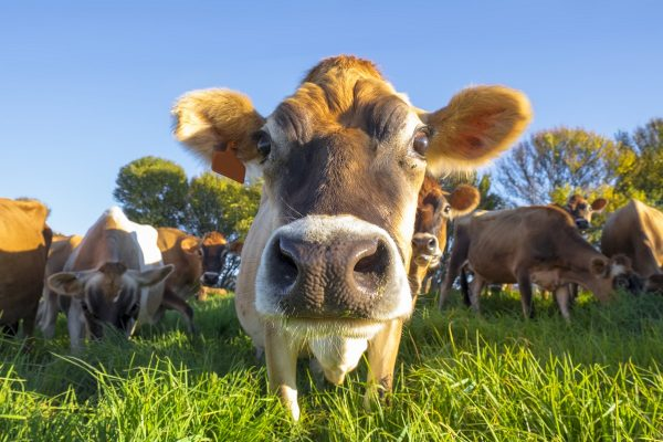 Close,Up,Of,Jersey,Cow,In,Natal,Midlands,,South,Africa